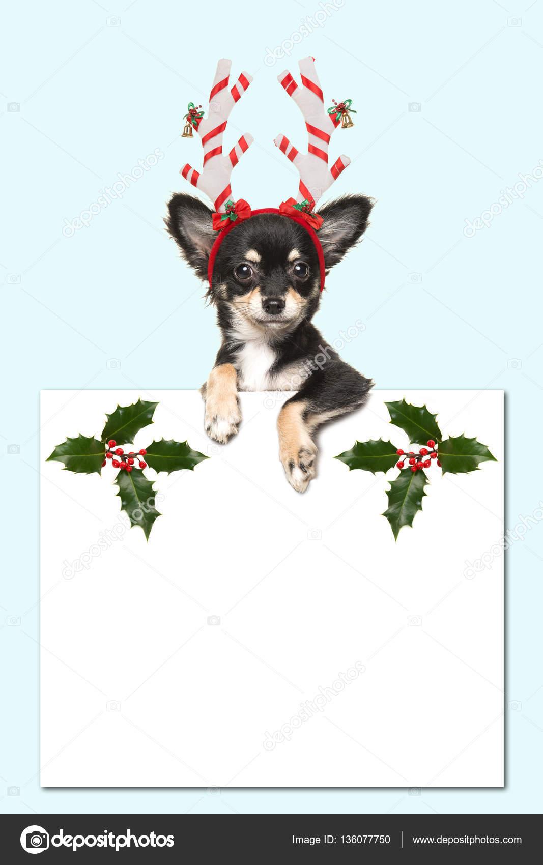 Niedliche Chihuahua Hund Tragt Eine Weihnachtsmutze Halt Ein Weisses