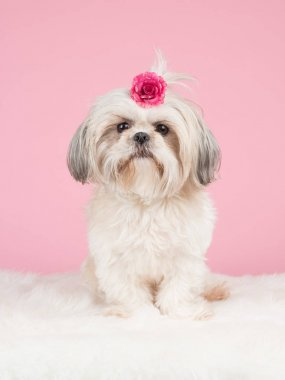 Sweet shih-tzu dog sitting wearing a pink bow at a pink backgrond