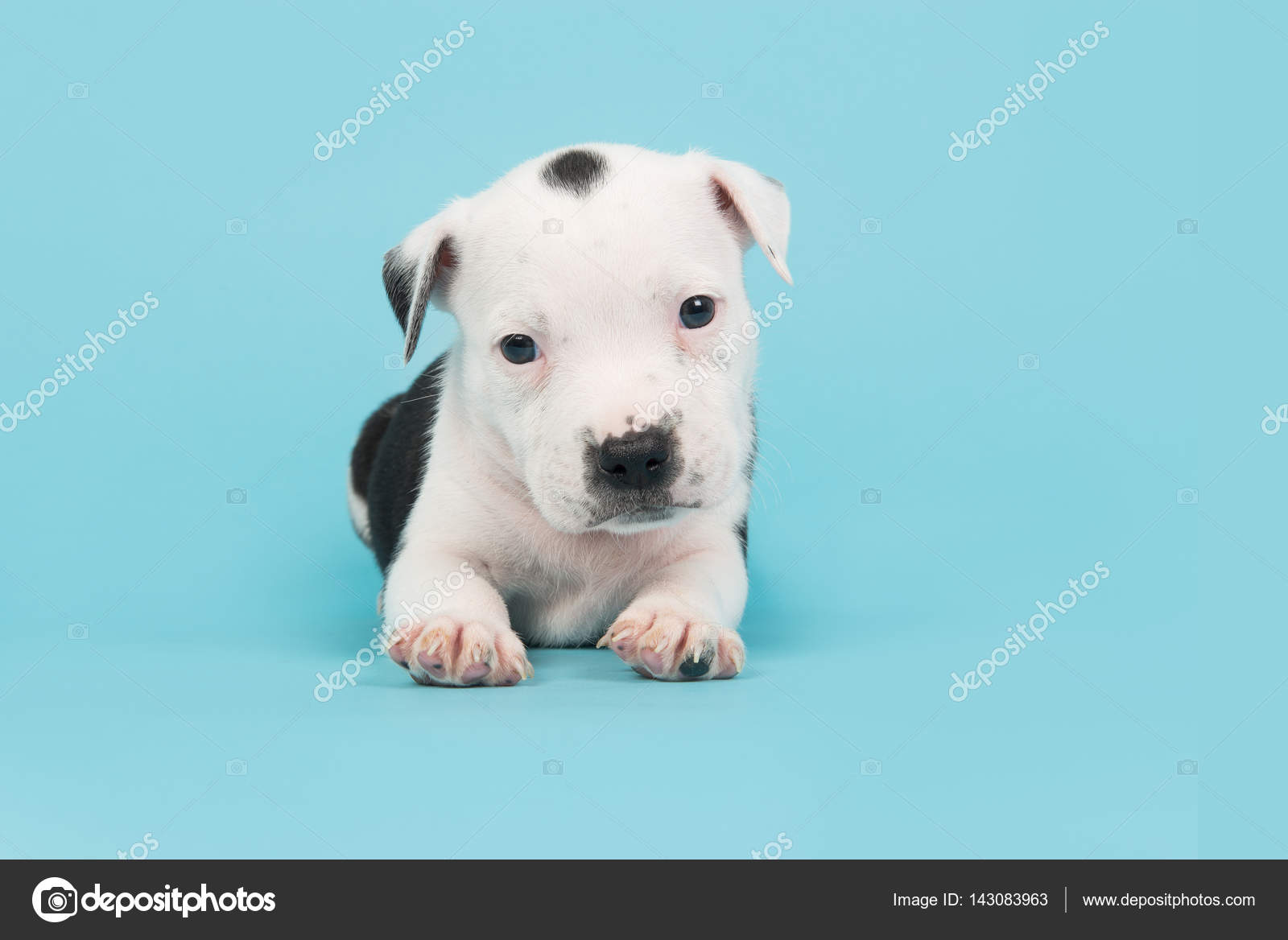 Cute Baby Stafford Terrier Dog On A Blue Background Stock Photo