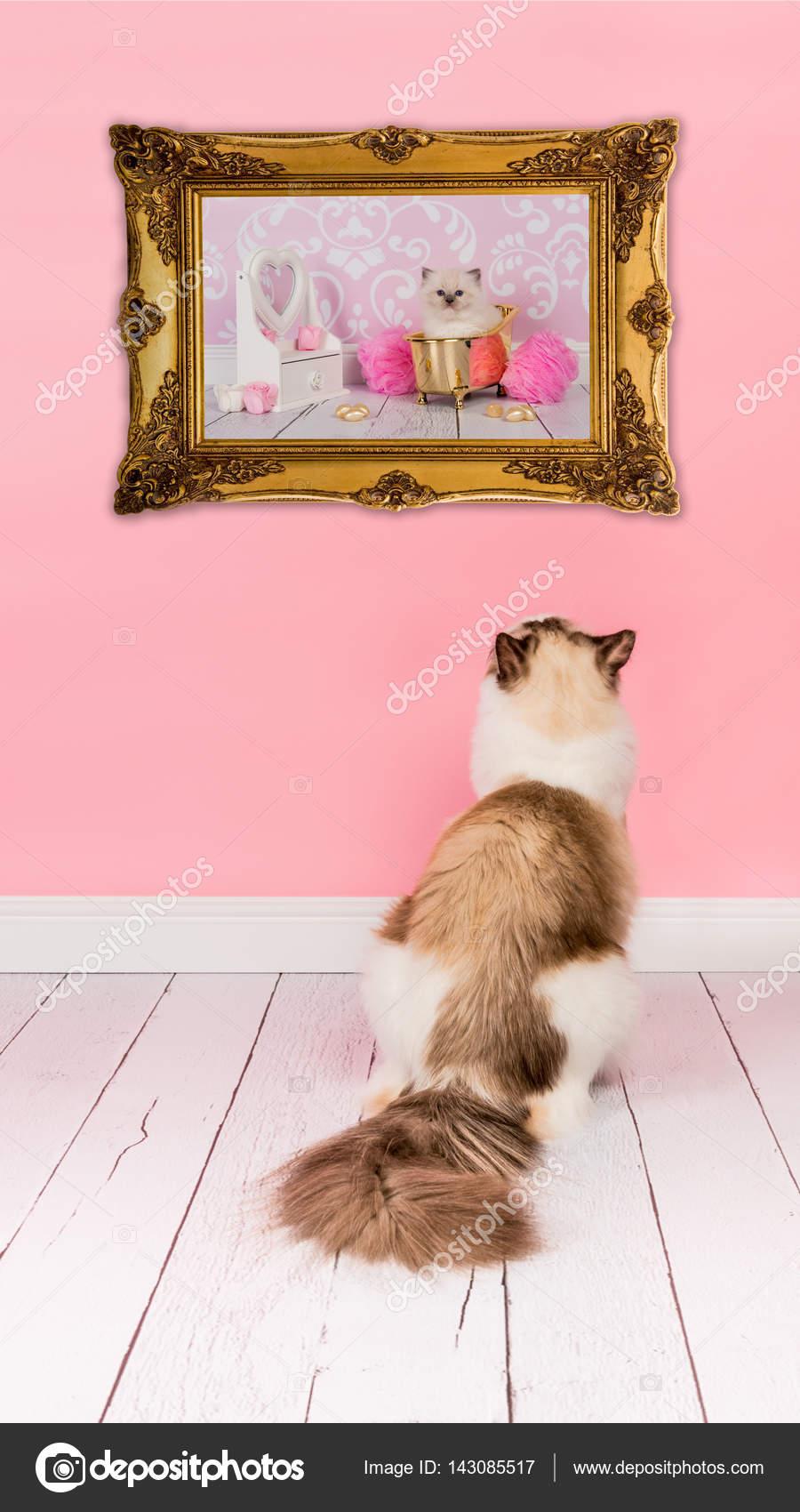 Erwachsene Katze Ragdoll mit Blick auf ein Bild mit einer Baby-Katze ...