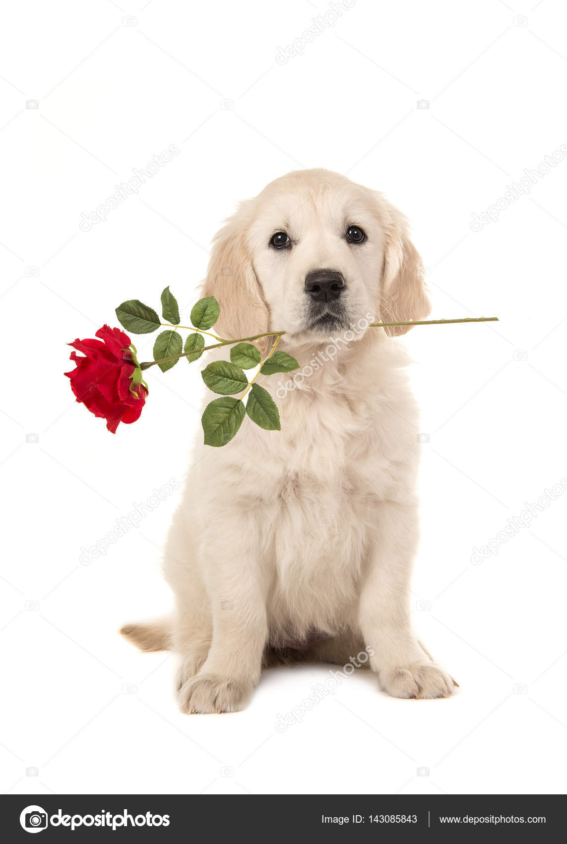 Valentine S Day Dogs Pictures