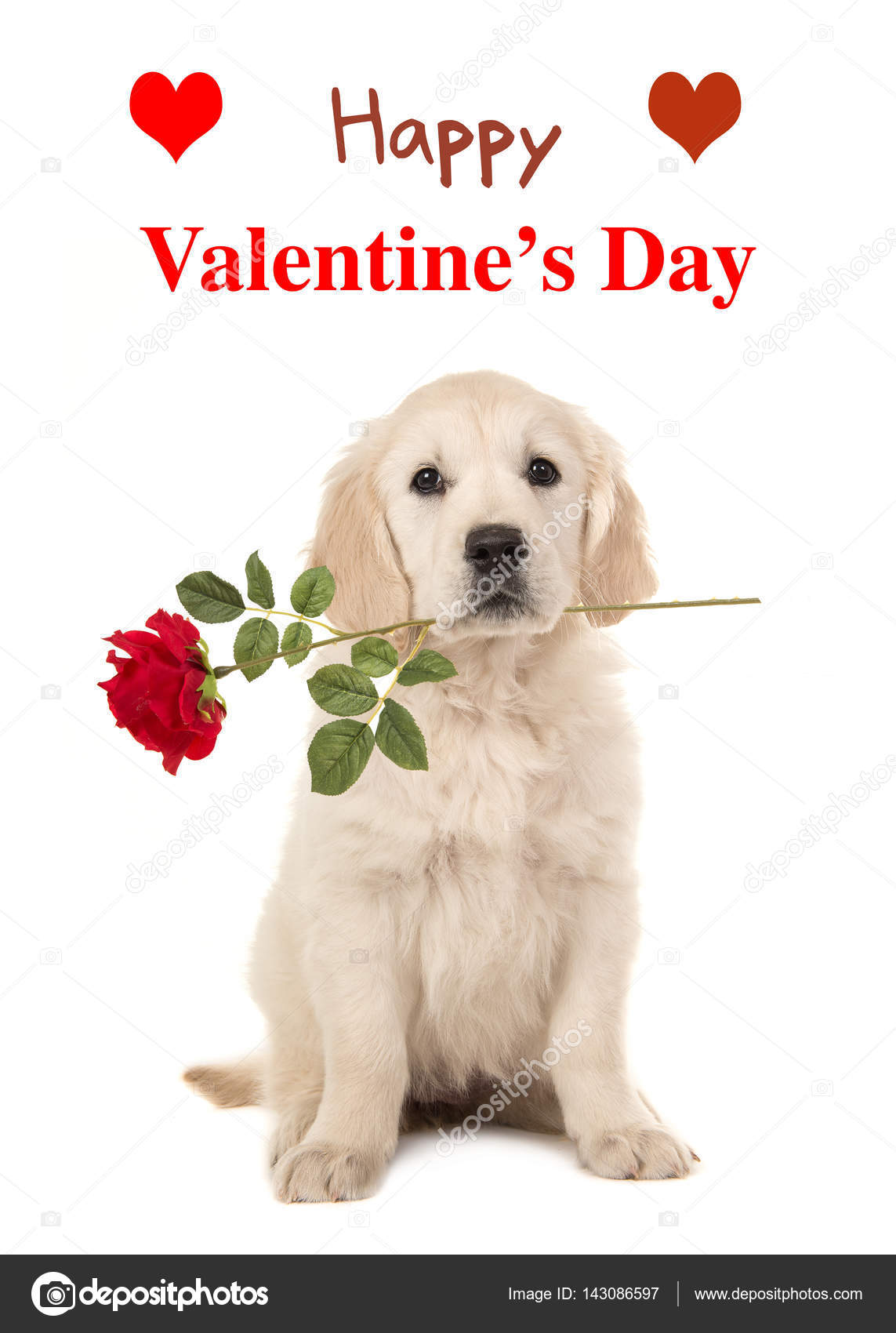 Cute Sitting Golden Retriever Puppy Dog Holding A Red Rose In His Mouth  Facing The Camera On A White Background With Text Happy Valentineu0027s Day As  A Wishing ...