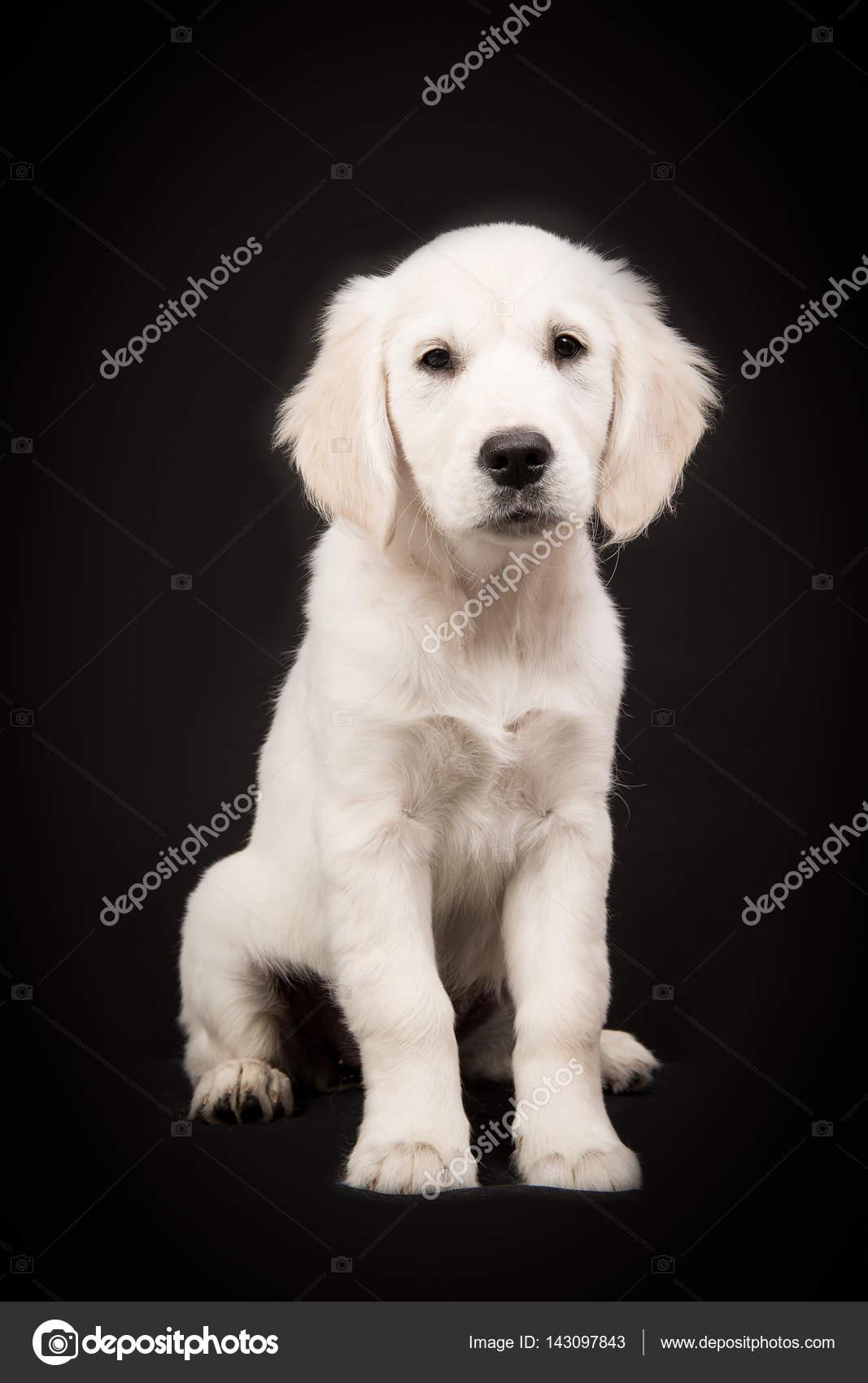 Golden Retriever Cachorro Negro Cachorro De Golden Retriever