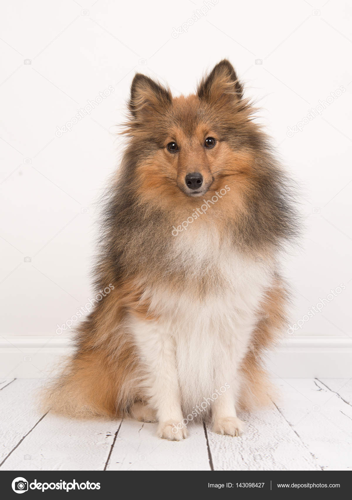 sitting shetland sheepdog or sheltie seen from the front facing the