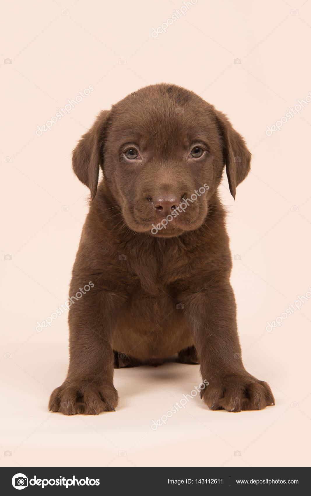 Retriever du labrador brun chocolat chiot assis sur fond beige ...