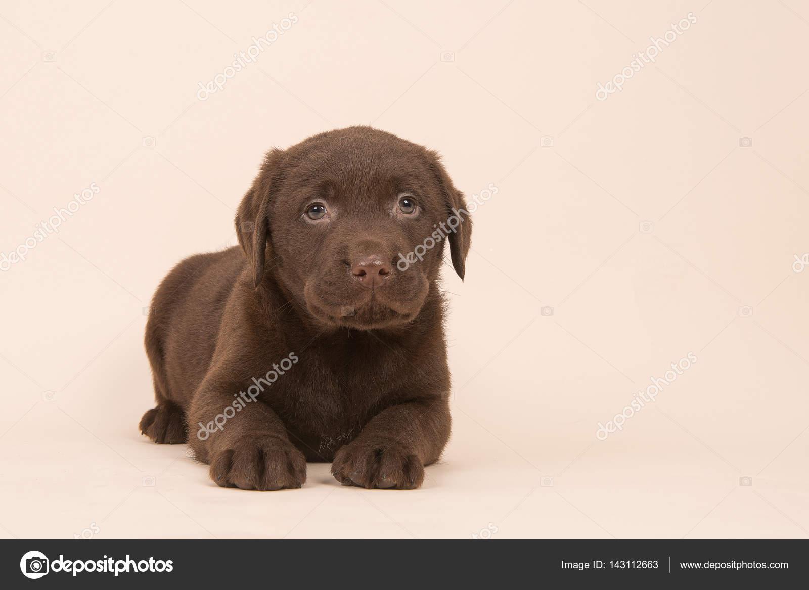 Cachorro de perro perdiguero de labrador marrón chocolate tendido en ...
