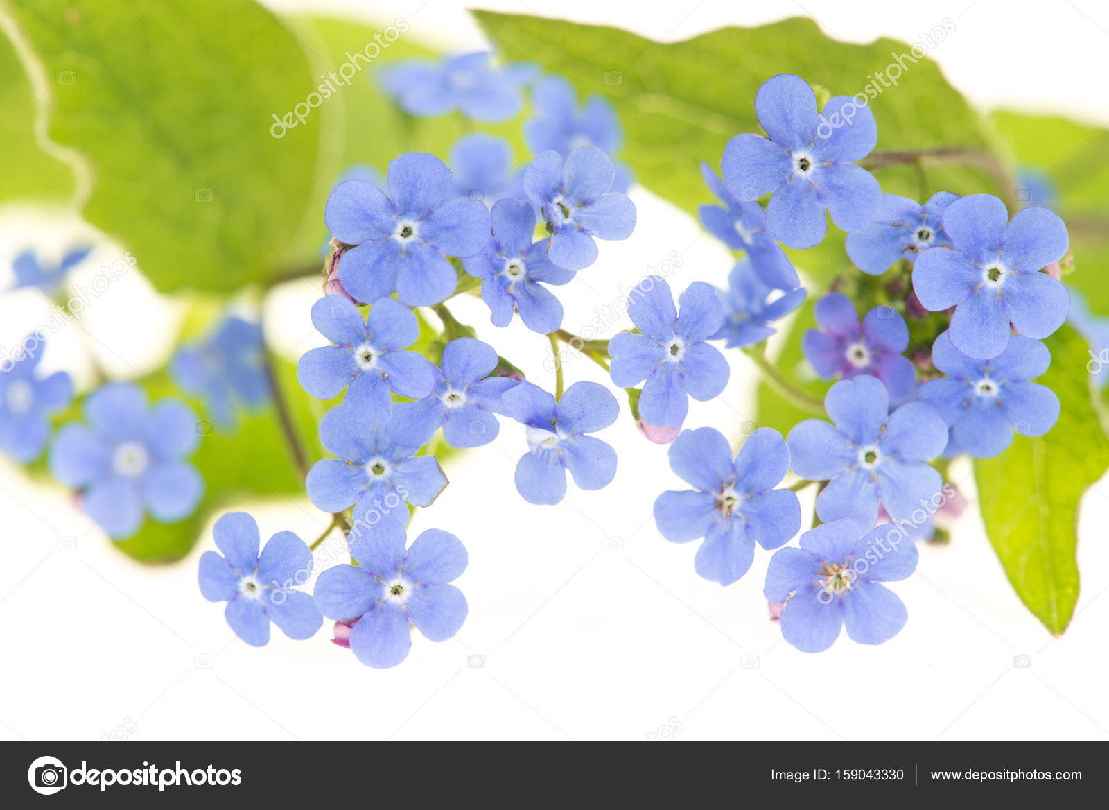 Forget Me Not Flowers With Green Leaves On A White Background