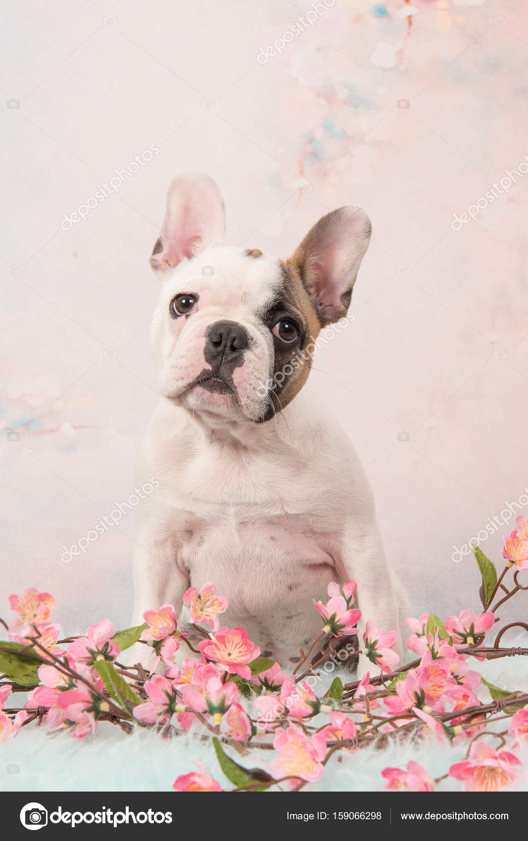 Cute Sitting White And Brown French Bulldog Puppy Facing The Camera On A Pink Romantic Flower Background Stock Photo C Miraswonderland 159066298