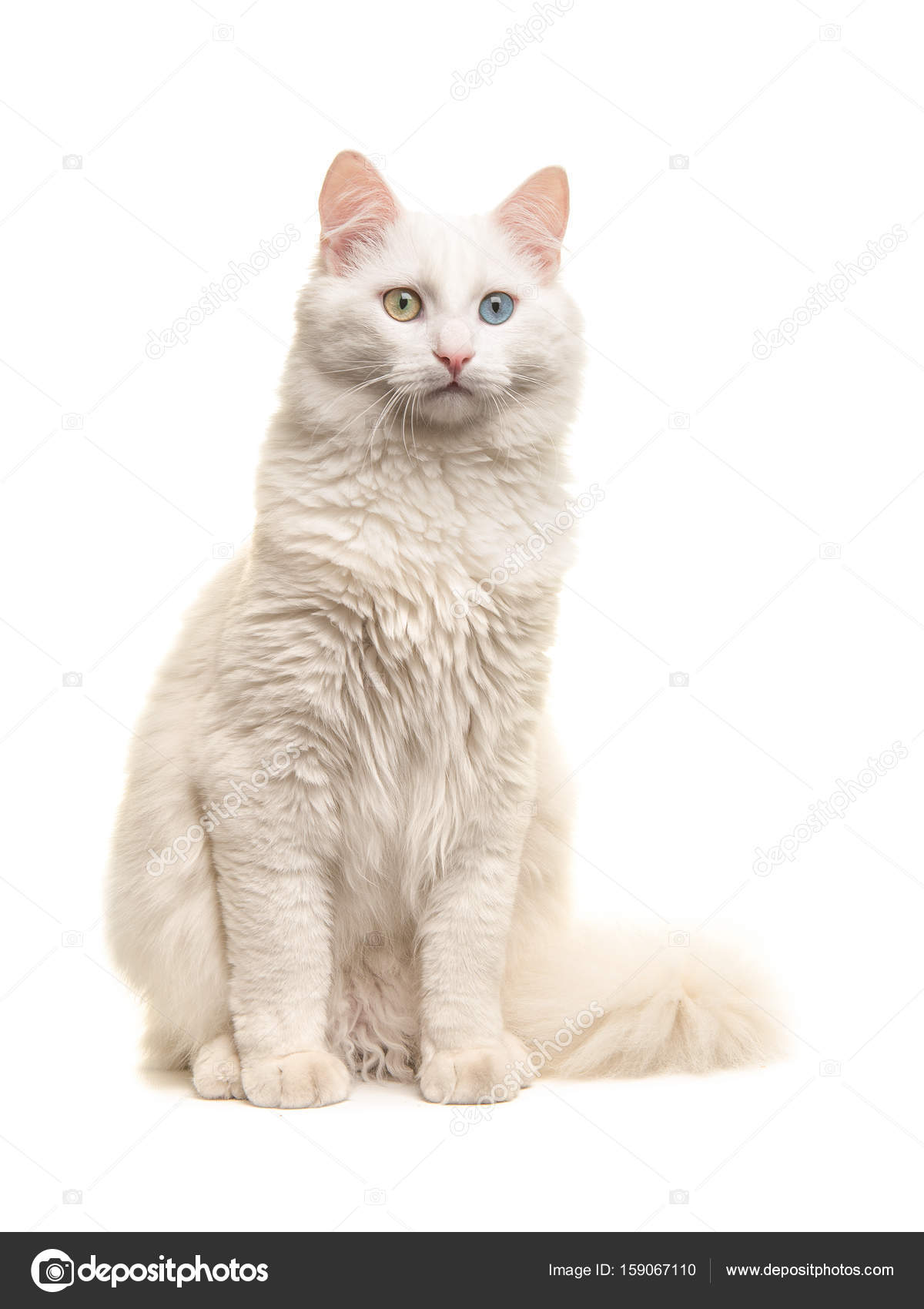 f2bfe55ce1756e White turkish angora odd eye cat sitting not looking at the camera isolated  on a white