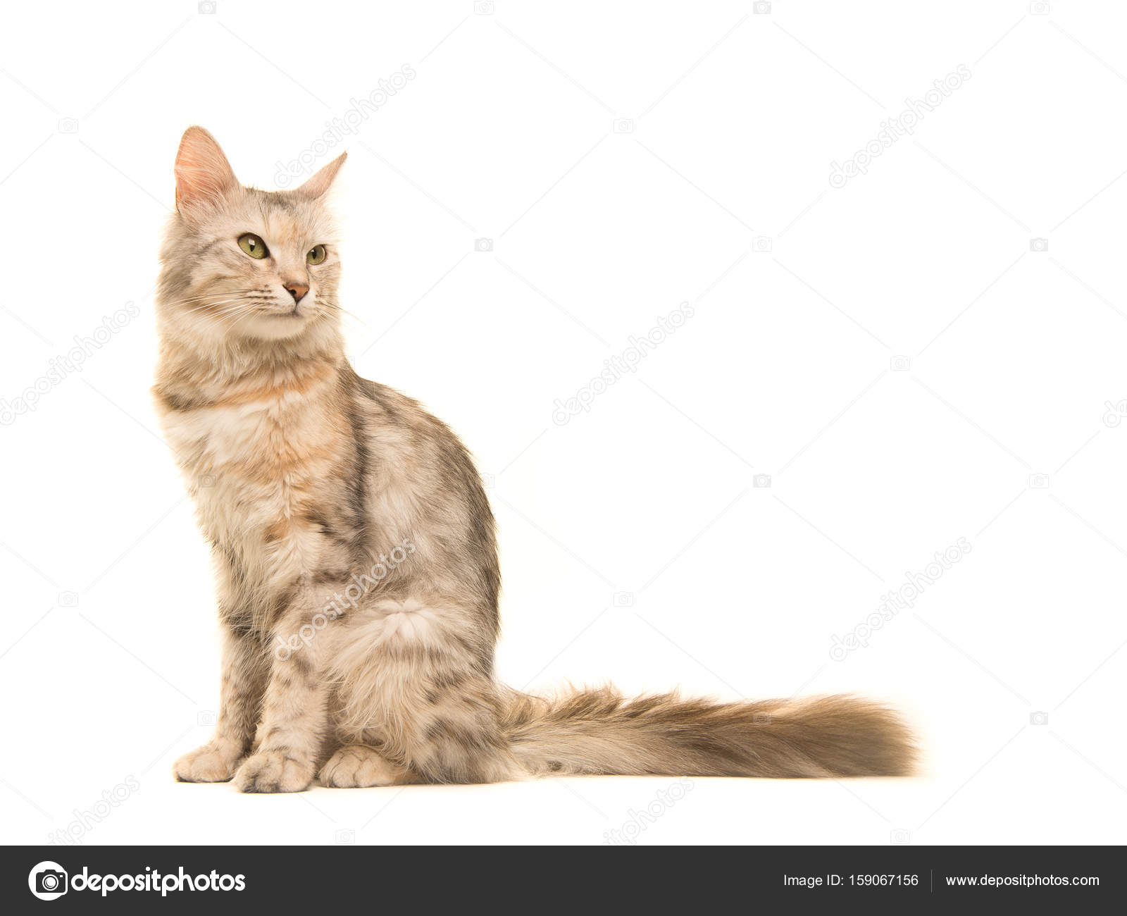 Tabby Turkish Angora Cat Sitting Looking Back To The Right Seen From
