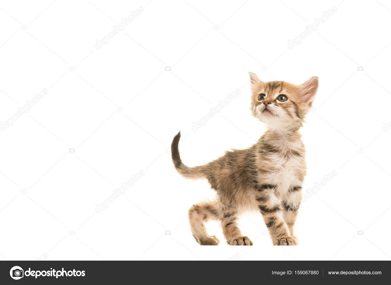 Cute Tabby Turkish Angora Baby Cat Walking And Looking Up Isolated