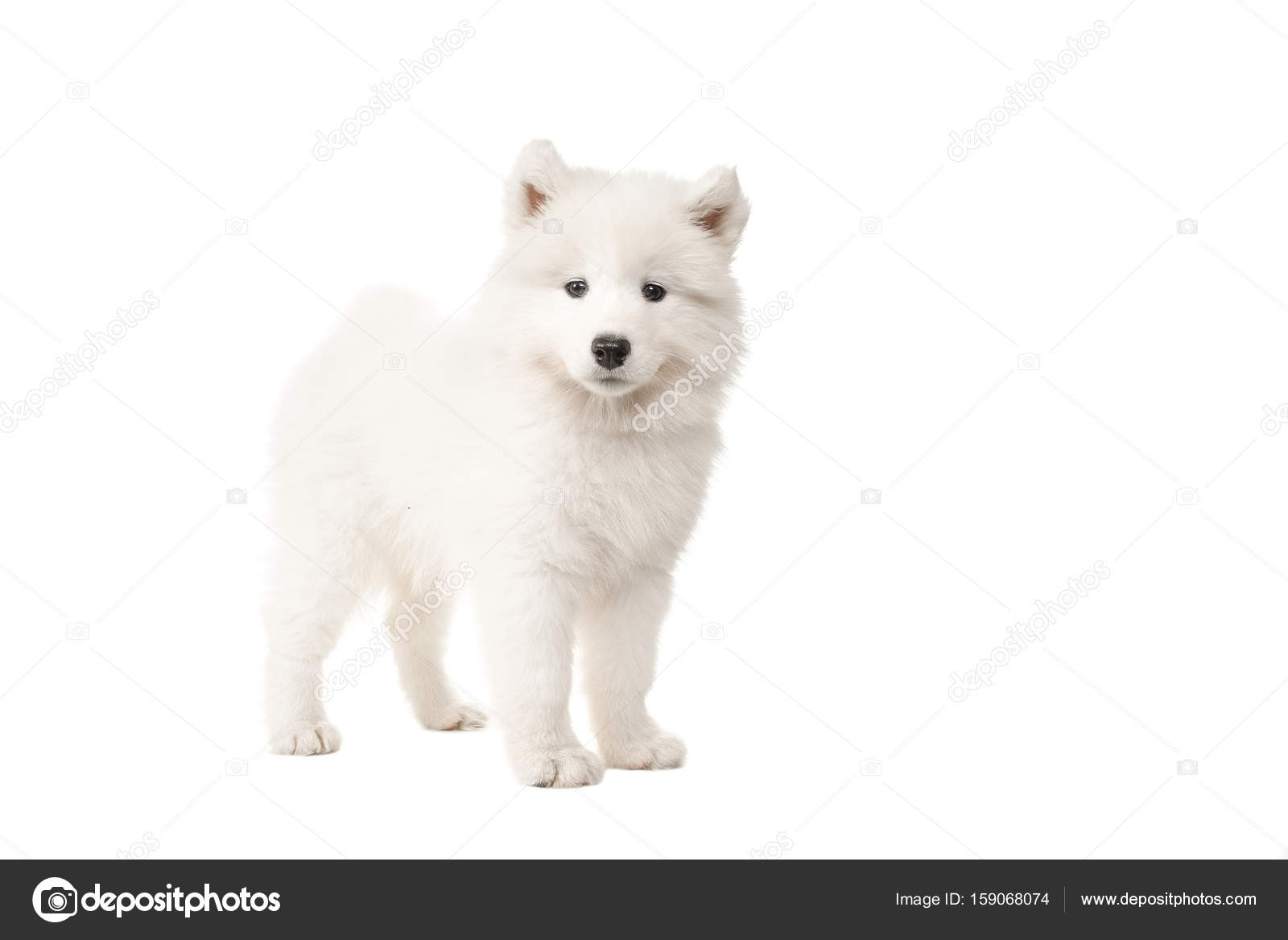 Cute Standing White Samoyed Puppy Dog Seen From The Side Looking At The Camera Isolated On A White Background Stock Photo C Miraswonderland 159068074
