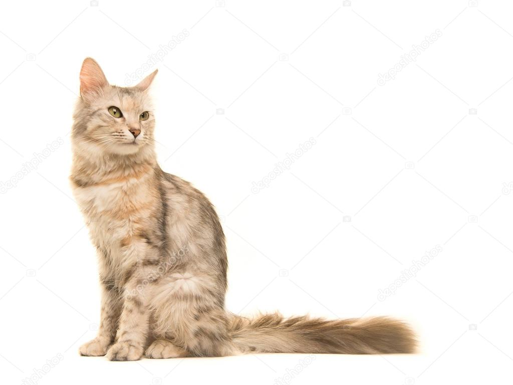 Tabby Turkish angora cat sitting looking back to the right ...