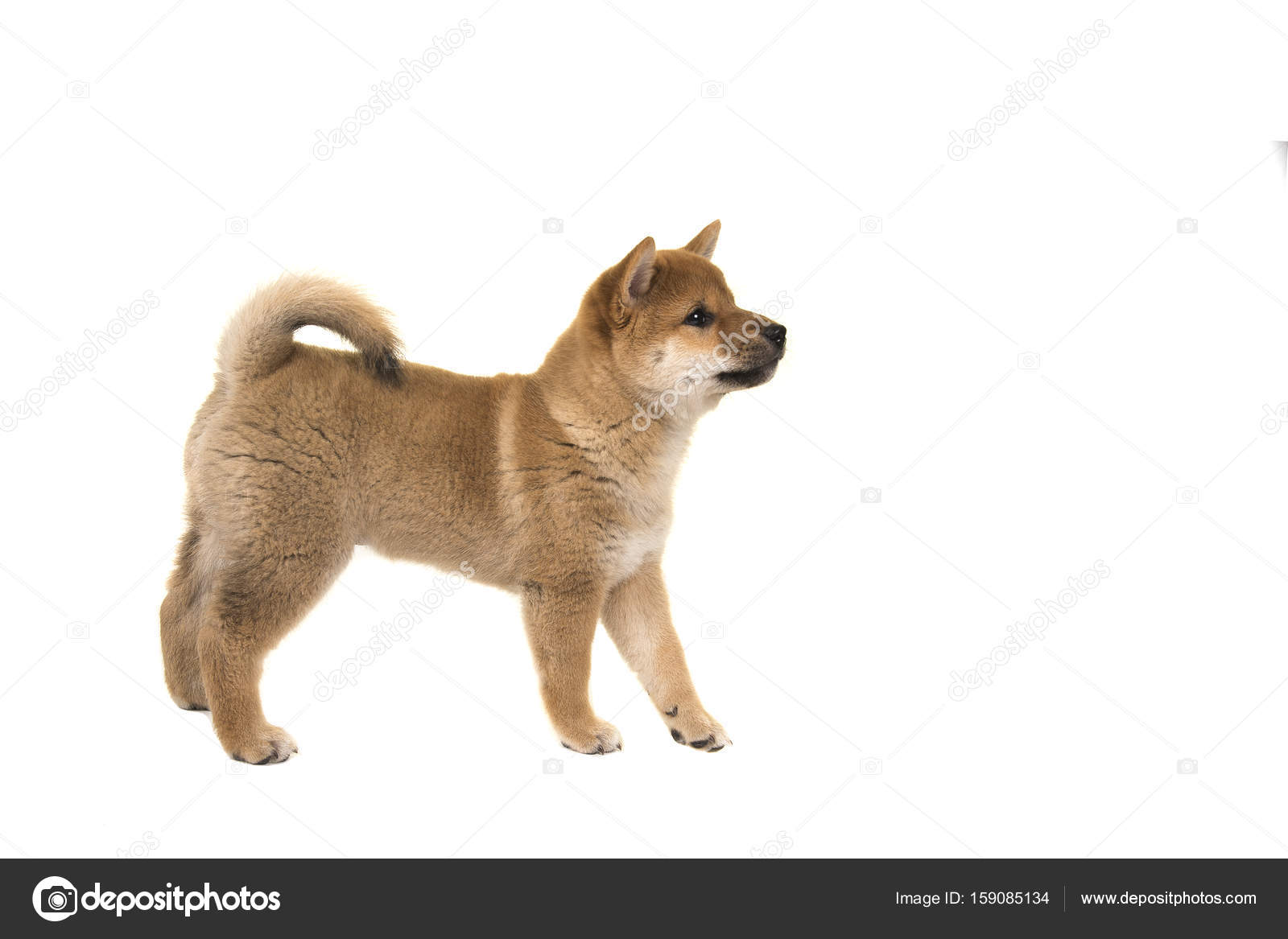 Shiba Inu Puppy Dog Standing Seen From The Side Looking Up Solated On A White Background Stock Photo C Miraswonderland 159085134