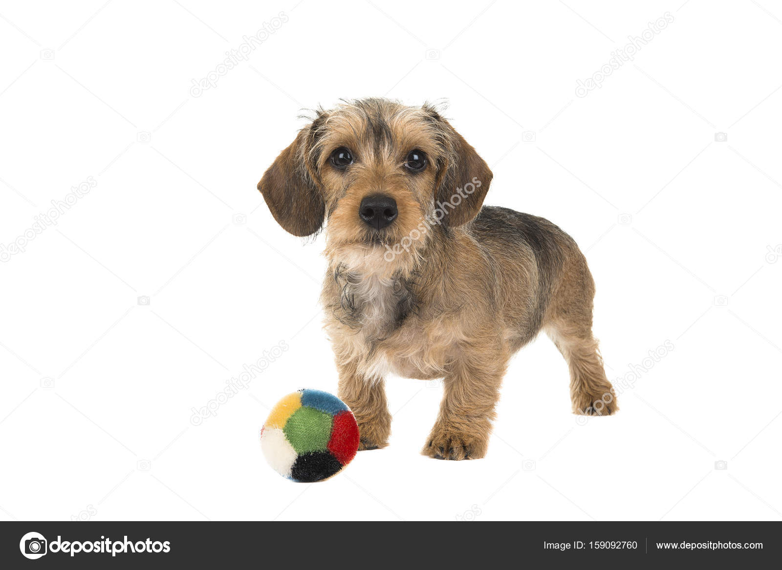 Cute wire haired dachshund puppy with a ball in front of him ...