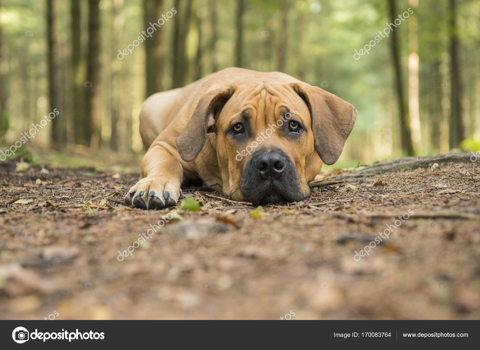 Young south african mastiff dog lying down in a forest lane