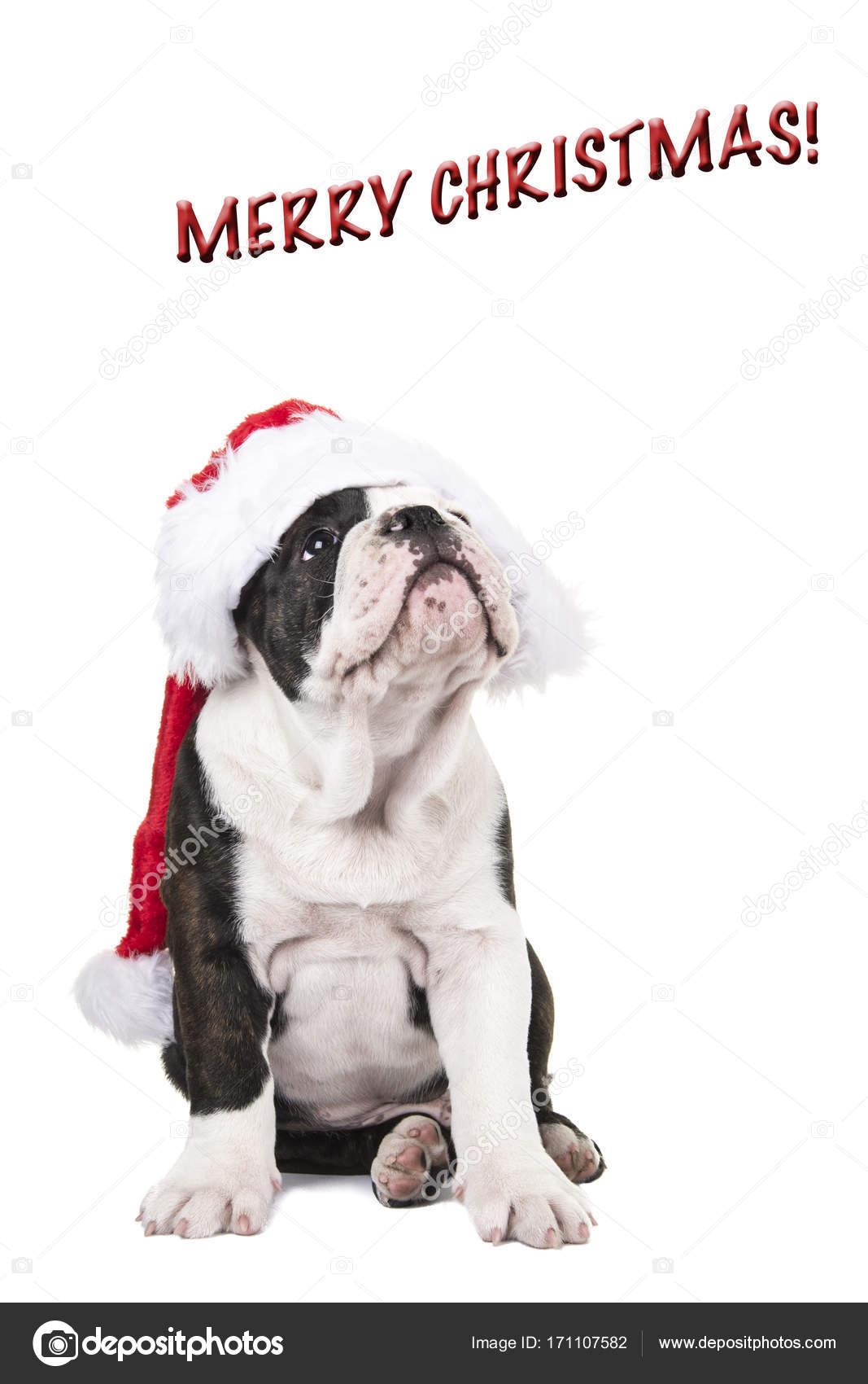 サンタさんの帽子と歌詞を着てかわいい英語ブルドッグ子犬ホワイト