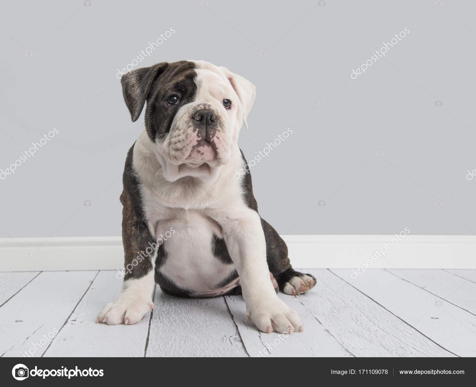 Süße englische Bulldogge Welpen in grau Wohnzimmer Einstellung ...