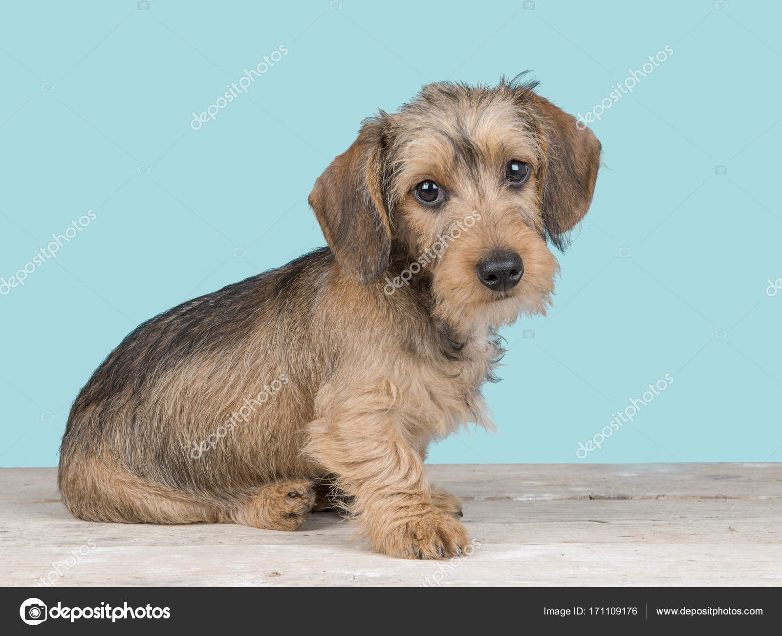 Cute dachshund puppy dog sitting facing the camera on a wooden floor ...