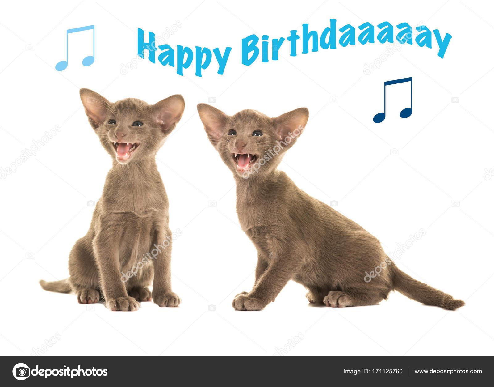 cica boldog szülinapot Boldog születésnapot kártya val kettő szürke Sziámi ülő cica  cica boldog szülinapot
