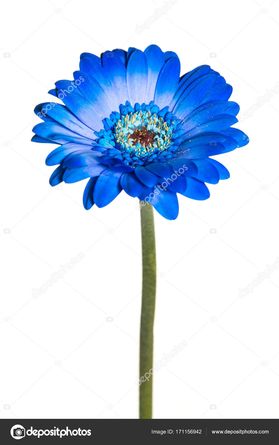 Blue Gerbera Flower With Stem Isolated On A White Background Stock