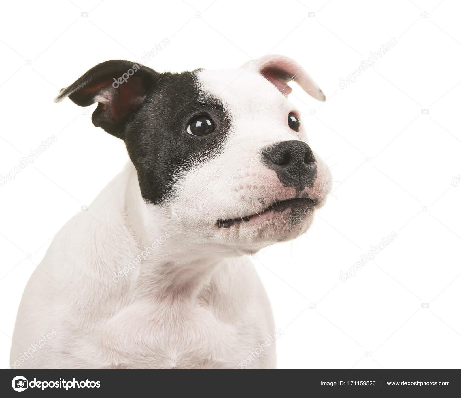 Ritratto di un cucciolo di pitbull terrier bianco e nero buffo guardando a  destra su sfondo bianco \u2014 Foto di Miraswonderland