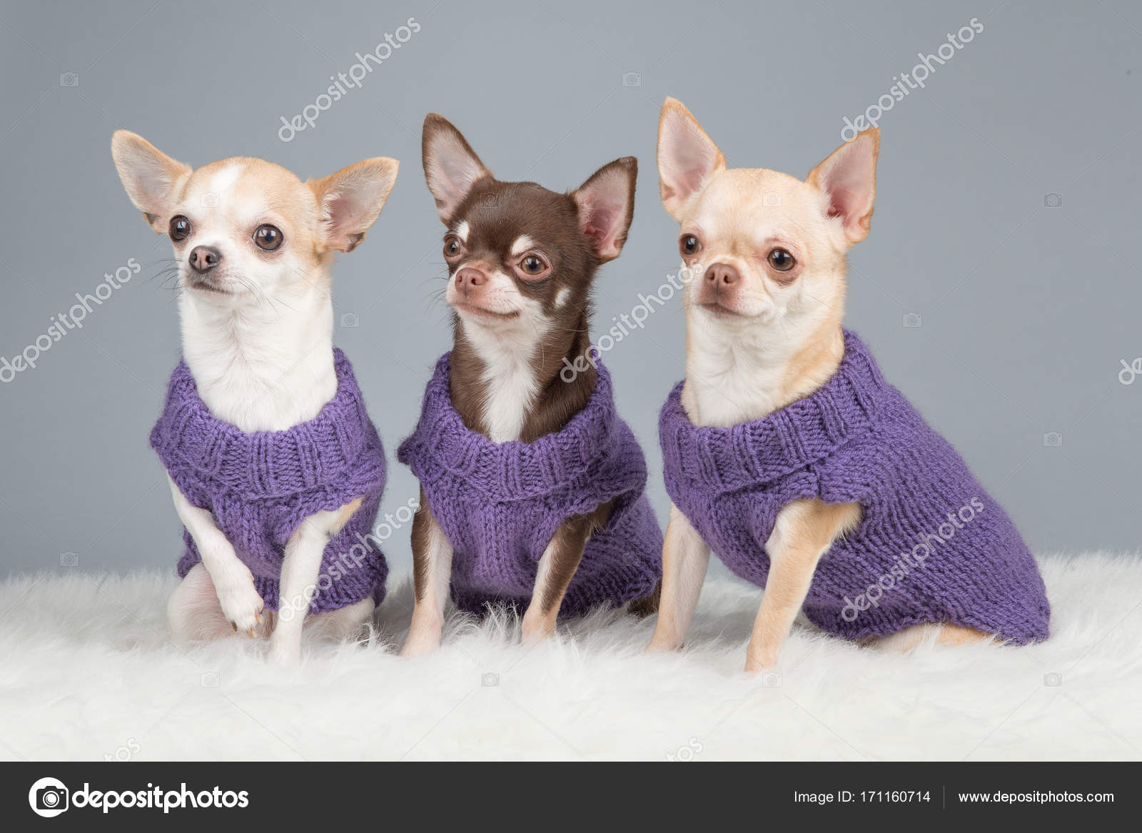 Three Cute Sitting Chihuahua Dogs Wearing Purple Knitted Sweater
