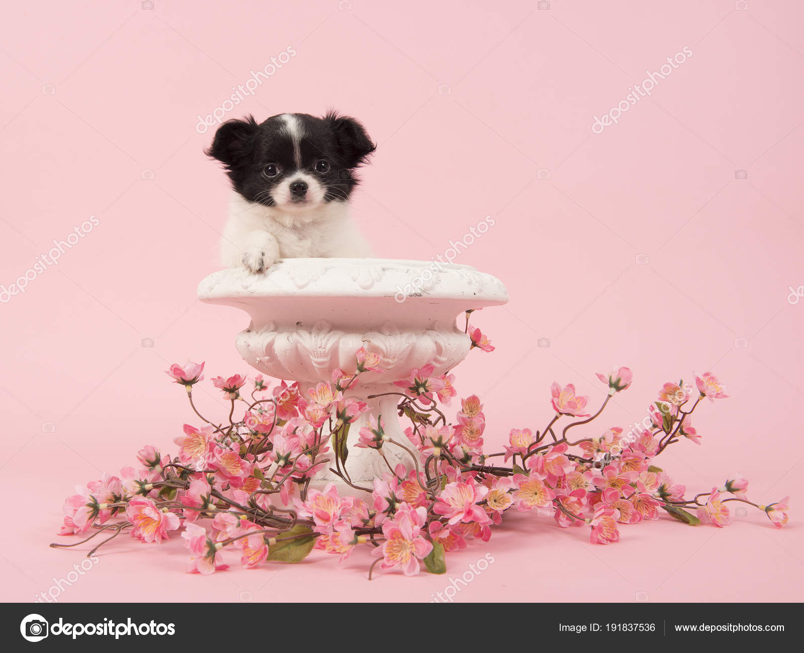 Black And White Chihuahua Puppy In A White Flower Pot Surrounded