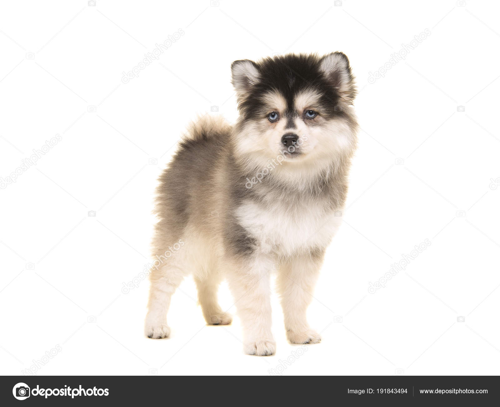 Niedliche Pomsky Mini Husky Welpen Stehen Stockfoto