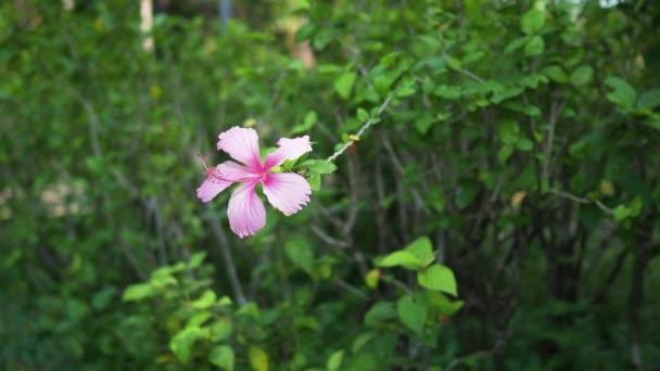 Közös rózsaszín Hibiszkusz virág