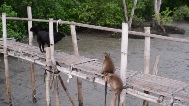 Crab-eating macaque monkeys funny with dog on bamboo bridge in mangrove forest.