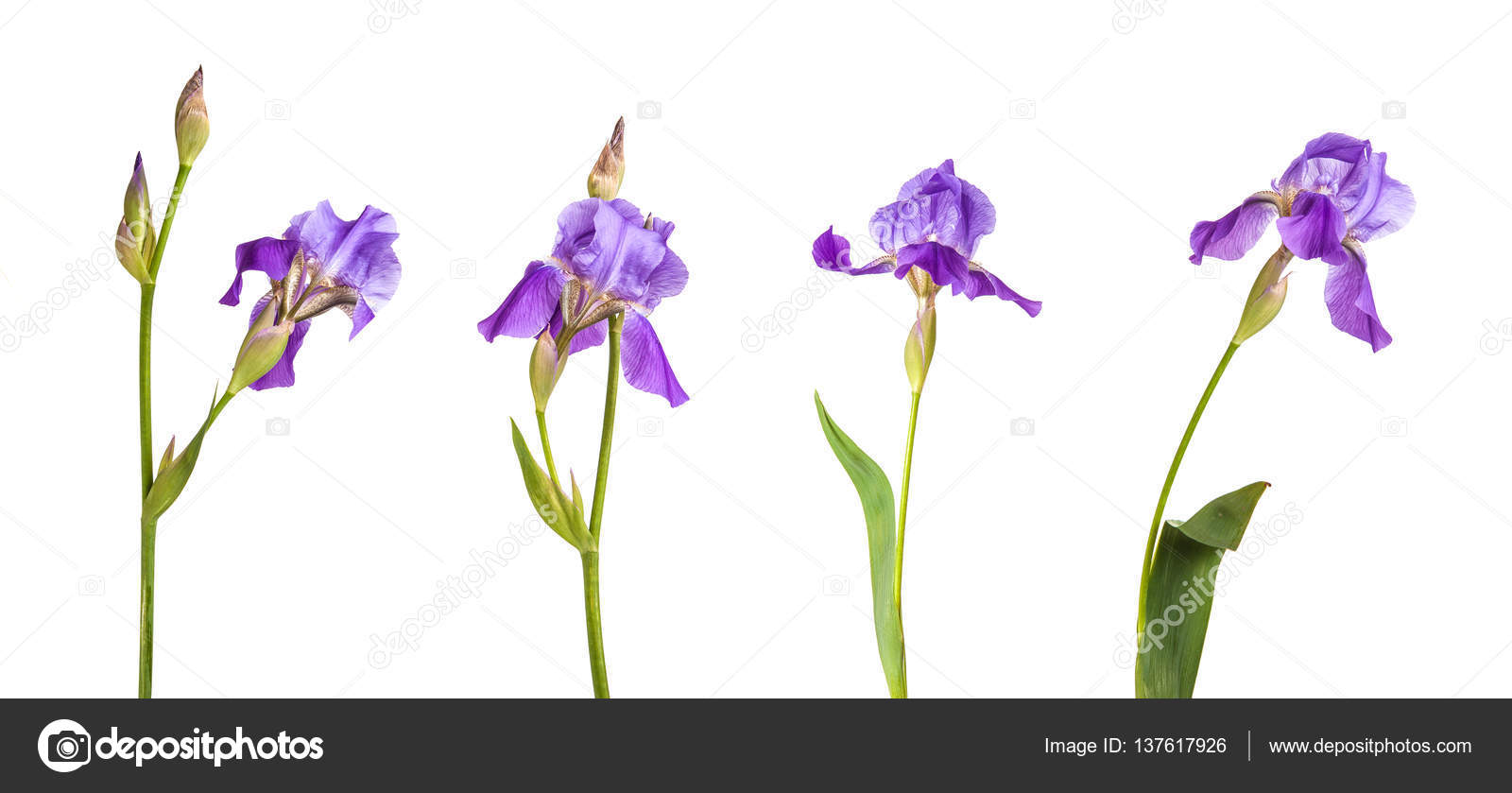 Purple iris flower isolation is not a white background set stock purple iris flower isolation is not a white background set stock photo izmirmasajfo