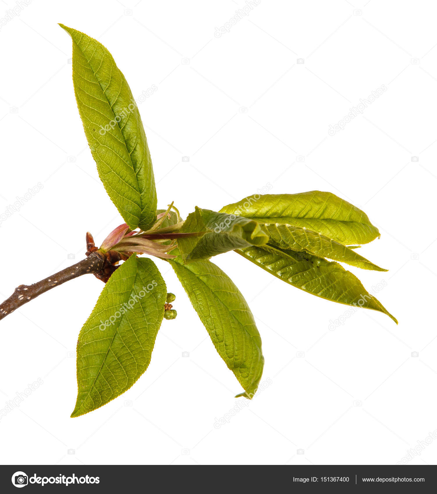 Little Green Leaves On A Bird Cherry Branch Isolated On