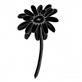 Vector Gerbera floral botanical flower. Black and white engraved