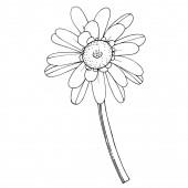 Vector Gerbera floral botanical flower. Black and white engraved