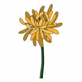 Krizantém vektor botanikai virág. Fekete-fehér vésett tinta művészet. Izolált krizantém illusztrációs elem.