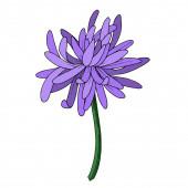 Vector Chrysanthemum botanical flower. Black and white engraved ink art. Isolated chrysanthemum illustration element.