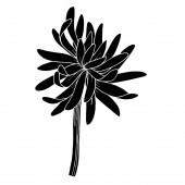 Vektorové chryzantémy botanické květiny. Černobílý rytý inkoust. Izolovaný ilustrační prvek chryzantémy.