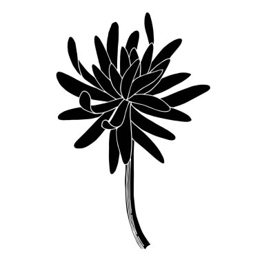 Vector Chrysanthemum floral botanical flower. Wild spring leaf wildflower isolated. Black and white engraved ink art. Isolated chrysanthemum illustration element. stock vector