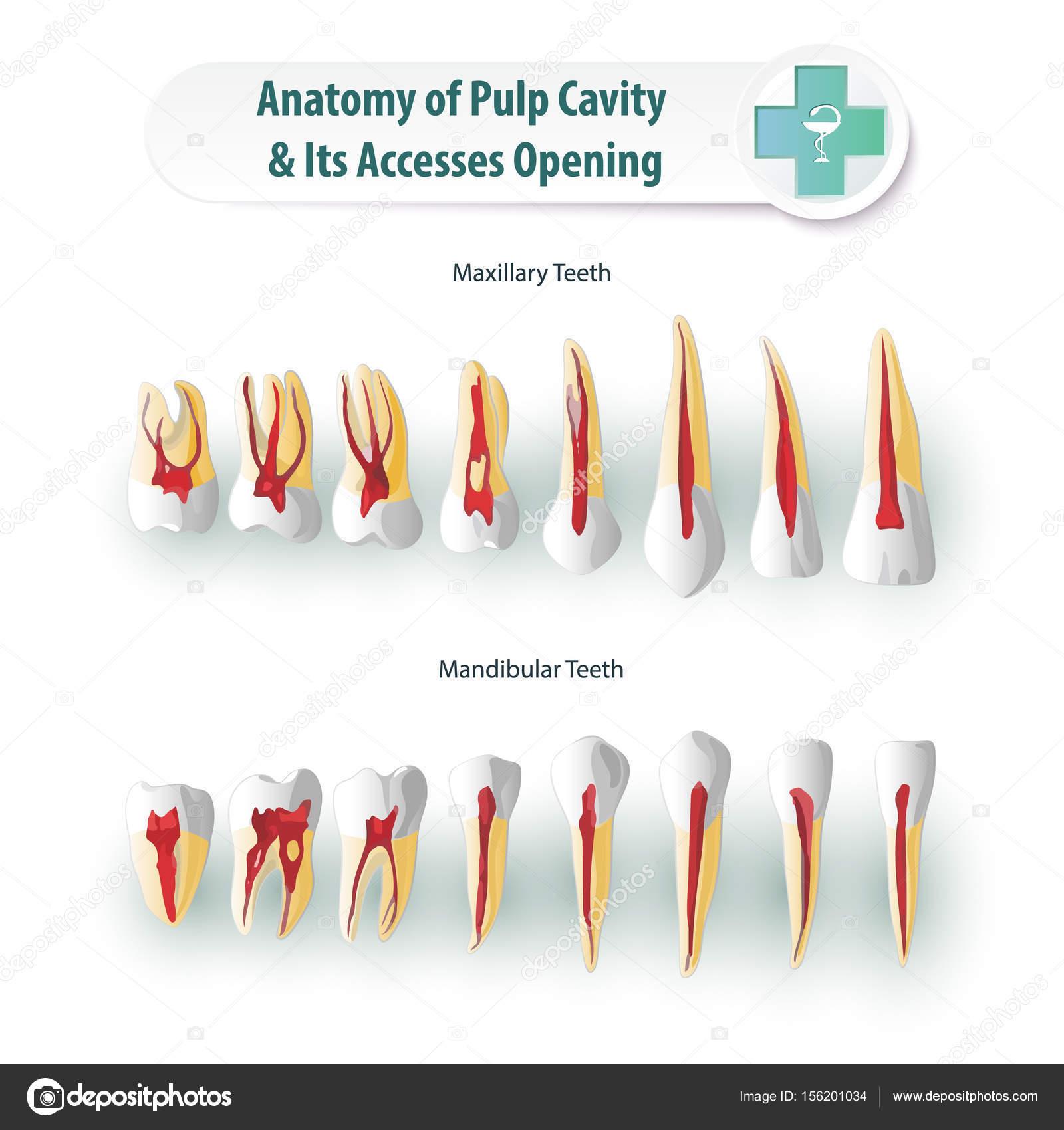 Anatomía dental 2 — Archivo Imágenes Vectoriales © Sergey7777 #156201034