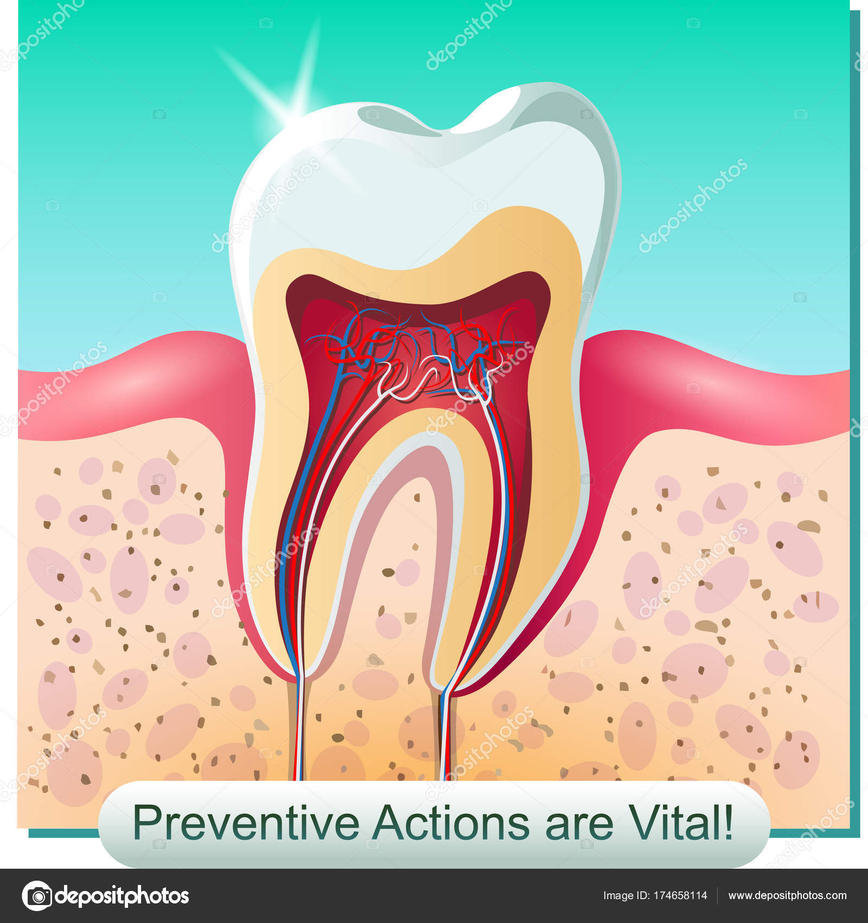 The Dental Anatomy Stock Vector Sergey7777 174658114