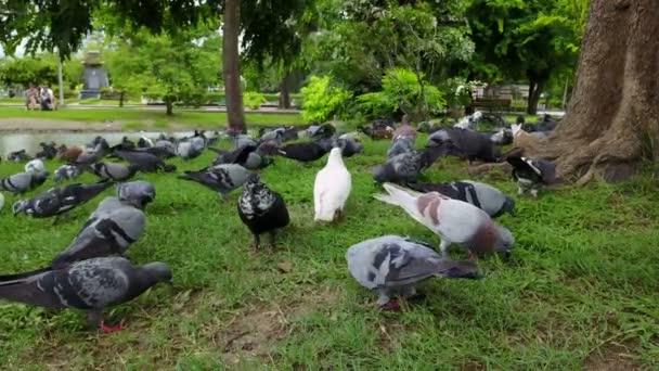4K Flock of pigeons eating food