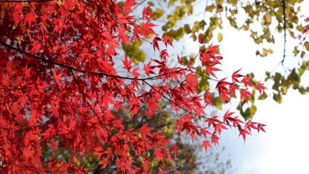 Autumn red maple leaves in the wind