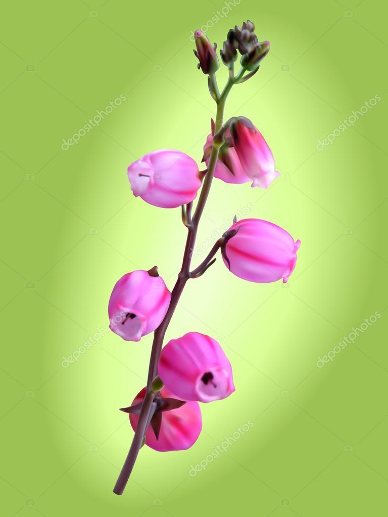 St Dabeocs Heath Flower Stock Vector Ovchyn 127957966