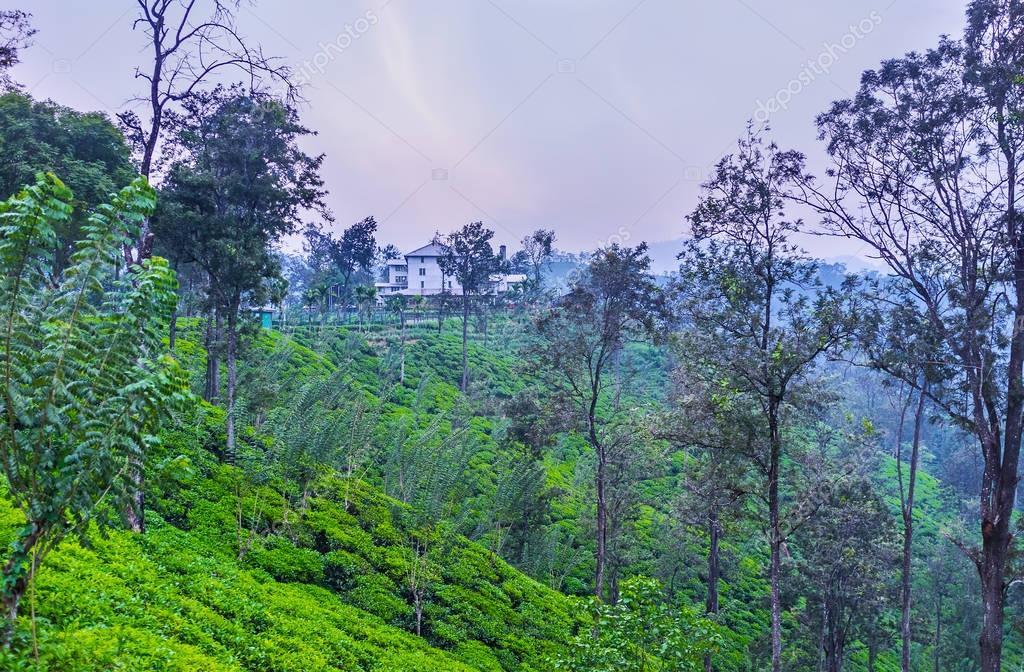 The sunset over the tea plantation, Sri Lanka