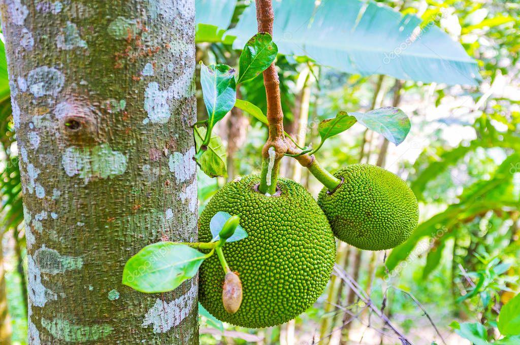 Jackfruit on the tree, Damodara