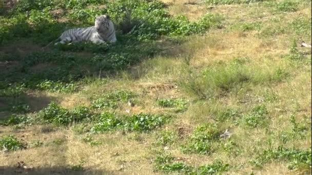 Fehér bengáli tigris ül a zöld füvön. Tigris Afrika végtelenségében. Állatok a vadonban. Veszélyeztetett állatfaj.