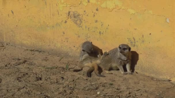 Two meerkats are sitting in the sand and watching. Meerkats in the African zoo in the open air. Animals Out of Will