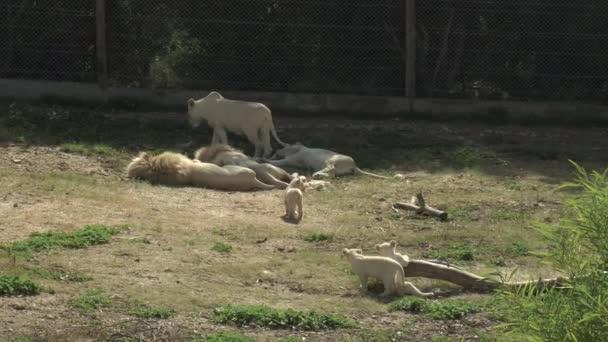 Weiße Löwenbabys folgen der Löwin zu anderen Löwen. Löwen im afrikanischen Zoo unter freiem Himmel. Tiere sind willenlos. eine bedrohte Tierart.