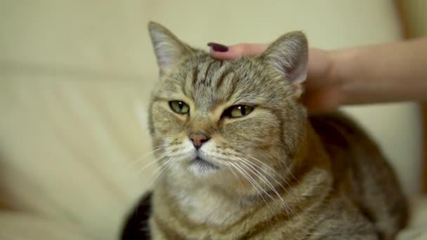 Egy brit macskát simogató lány. A macska a széken fekszik, becsukja az öröm szemét. Macskaarc közelről. Lassú mozgás.